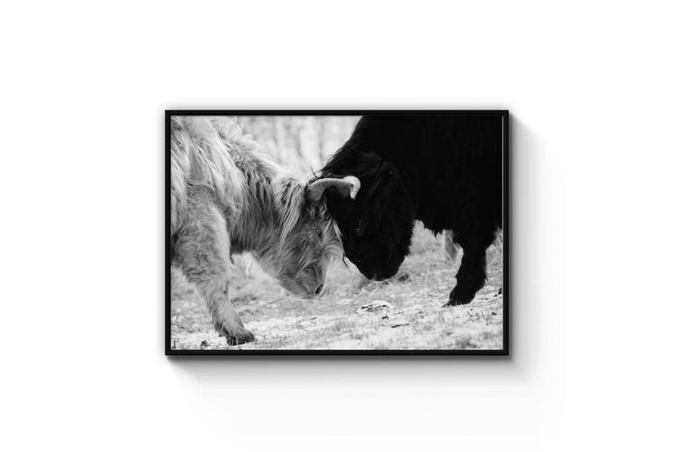 Highland Cow Fight Wall Art