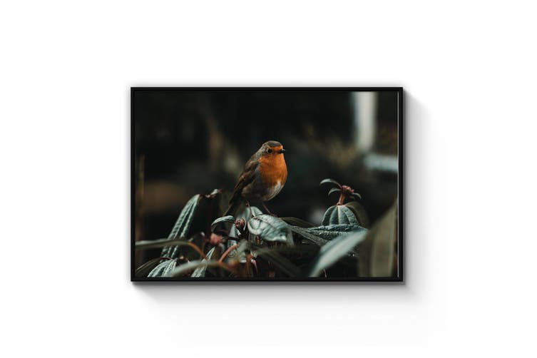 Robin Red Breast Bird Photograph Wall Art