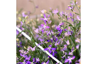 STOCK Night scented - Standard Packet (see description for seed quantity)