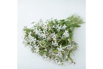 SOAPWORT 'White Beauty' / Wang Bu Liu Xing / SAPONARIA