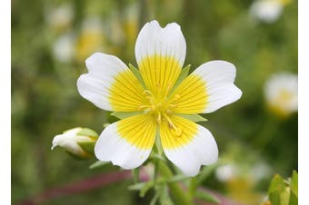 POACHED EGG PLANT / Limnanthes douglasii - Standard Packet (see description for seed quantity)