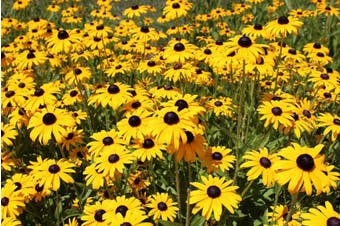Rudbeckia 'GLORIOSA DAISIES MIXED' / Black Eyed Susan - Standard Packet (see description for seed quantity)