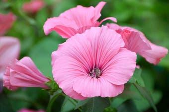 ROSE MALLOW 'Silvercup' / Lavatera trimestris