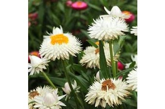 PAPER DAISY 'White' / STRAWFLOWER / EVERLASTING DAISY - Standard Packet (see description for seed quantity)