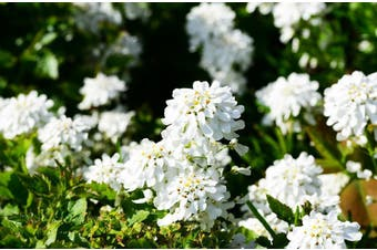 CANDYTUFT Empress White - Standard Packet (see description for seed quantity)