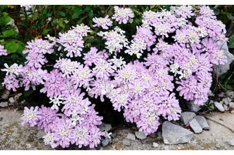 CANDYTUFT Gibraltar *Perennial* - Standard Packet (see description for seed quantity)