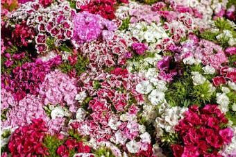 Dianthus / Pinks 'Dwarf Double Mixed' - Standard Packet (see description for seed quantity)