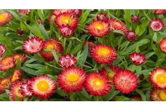 PAPER DAISY 'Scarlet' / STRAWFLOWER / EVERLASTING DAISY - Standard Packet (see description for seed quantity)