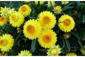 PAPER DAISY 'Lemon Yellow' / STRAWFLOWER / EVERLASTING DAISY - Standard Packet (see description for seed quantity)