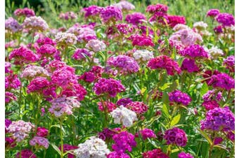 Sweet William / Dianthus 'Herald Of Spring' - Standard Packet (see description for seed quantity)