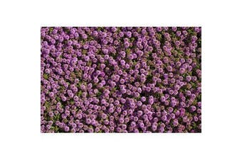 CREEPING THYME / Thymus serpyllum - Standard Packet (see description for seed quantity)