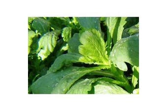 EDIBLE CHRYSANTHEMUM / Broad Leaf Chrysanthemum / Tong Ho / Shigiku / Garland