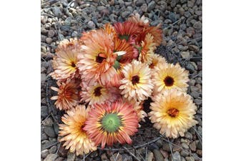 CALENDULA / English Marigold 'Pink Surprise' - Standard packet (see description for seed quantity)