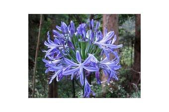 AGAPANTHUS 'Australian Blue' perennial flower