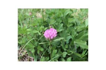 RED CLOVER - Green Manure / Beneficial Bug attracting / Lawn Grass