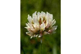 White CLOVER - Green Manure / Beneficial Bug attracting / Lawn Grass