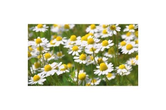 CHAMOMILE 'German' - Standard Packet (see description for seed quantity)