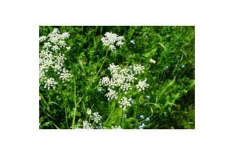 ANISE  / Aniseed / licorice herb