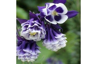 AQUILEGIA 'Double Flowered Mix' / Columbine / Grannys Bonnet