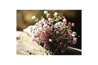 BABY'S BREATH / GYPSOPHILA 'Rose' - Standard Packet (see description for seed quantity)