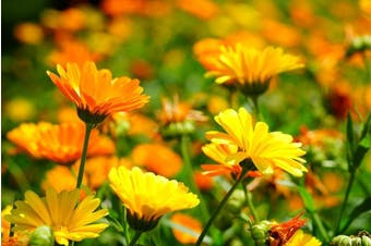 CALENDULA / English Marigold 'Golden' - Standard packet (see description for seed quantity)