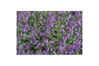 CATNIP - Standard Packet (see description for seed quantity)
