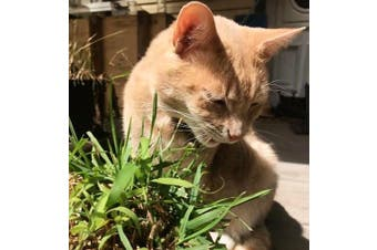 CATGRASS  - Dactylis glomerata / Cat Grass