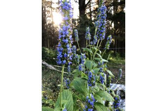 CHIA 'Black Seeded' /Salvia hispanica - Standard Packet (see description for seed quantity)