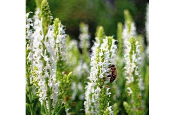 SALVIA hispanica / CHIA 'White seeded' - Standard Packet (see description for seed quantity)