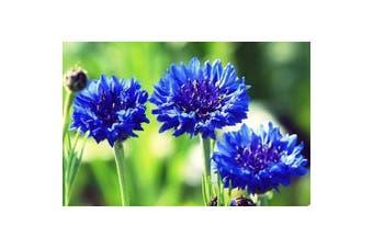 CORNFLOWER 'Blue' Centaurea cyanus - Standard Packet (see description for seed quantity)