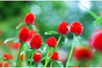 GLOBE AMARANTH / GOMPHRENA 'Strawberry fields'