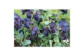 HONEYWORT Cerinthe major purpurescens