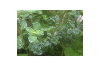 Marjoram 'Sweet' - Standard Packet (see description for seed quantity)