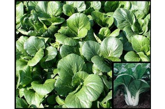 PAK CHOI White Stem / Buk Choy - Standard Packet (see description for seed quantity)