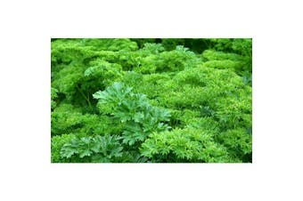 PARSLEY 'Curled' - Standard Packet (see description for seed quantity)