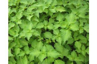 PERILLA 'Green' Japanese Shiso
