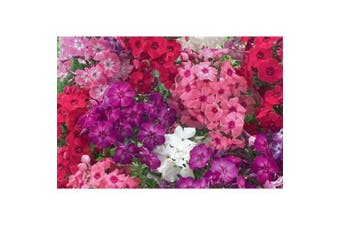 PHLOX 'Cecily Mixed' - Standard Packet (see description for seed quantity)