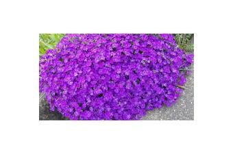 ROCK CRESS 'Dark Violet' Purple / Cushion Plant / Aubretia