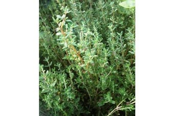 THYME - Standard Packet (see description for seed quantity)