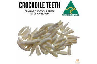 50 Loose SALTWATER CROCODILE TEETH Tooth Rare Souvenir Collector BULK