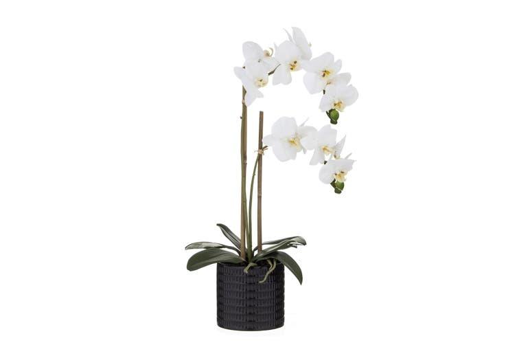Rogue Butterfly Orchid 30cm x 15cm x 56cm Black Pot