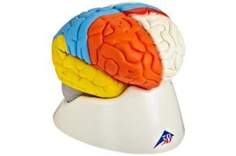 (Neuro-Anatomical Brain, 8-part) - 3B Scientific C22 8 Part Neuro-Anatomical Brain Model, 14cm x 14cm x 18cm