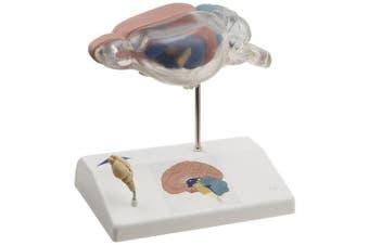 3B Scientific C29 Rat Brain Comparative Anatomy, 14cm Length x 9.9cm Width x 16cm Height
