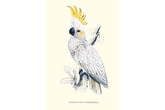 "Buyenlarge 0-587-28656-3-P1218 ""Lesser Sulpher-Crested Cockatoo-Cocatua Sulphurea"" Paper Poster, 30cm x 46cm"