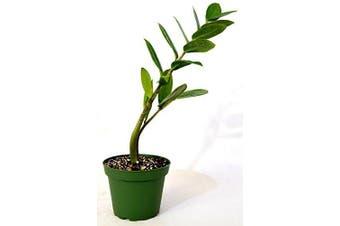 9GreenBox - ZZ Plant - Zamioculcas Zamiifolia - 10cm Pot