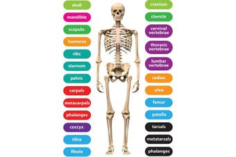 Ashley Productions ASH77817 Magnetic Die-Cut Human Skeleton Set, 26 Pieces