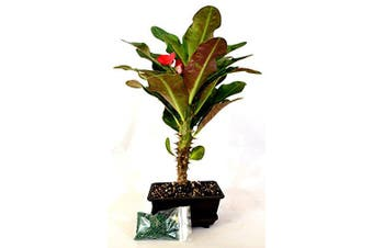 9GreenBox - Red Crown of Thorns Bonsai with Water Tray and Fertiliser