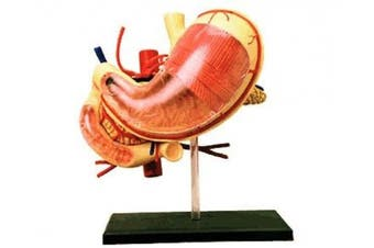 Famemaster 4D-Vision Human Stomach Anatomy Model