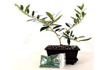 9GreenBox - Olive Tree Bonsai with Water Tray and Fertiliser