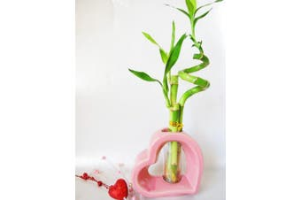9GreenBox - Lucky Bamboo - Spiral Style with Hollow Pink Ceramic Vase